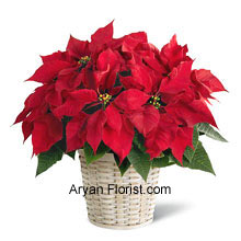 productPoinsettias in a basket are a delight on Christmas Season that augments the love and care indicating the presence of divine power. The divinity of these flowers in a basket is the perfect way to show the spirit of celebration and add to the mirth. The long-lasting poinsettias show the star of Bethlehem and pave the way towards divinity and purity. Place your order for this and see the magic of these flowers. (Please Note That We Reserve the Right to Substitute any Product with a Suitable Product of Equal Value in Case of Non-Availability of a Certain Product)