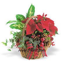 productJust the glance of Poinsettia on this festive occasion of Christmas is indicative of your good spirits. This ready to buy mini Poinsettia gives you the chance to bring this to your home. This comes along with pine cones and is indeed the star of the Bethlehem, showing you the way towards the almighty. The red color of the leaves represent the omnipresence warmth of God and its existence, which will further ignite your festive zeal. (Please Note That We Reserve the Right to Substitute any Product with a Suitable Product of Equal Value in Case of Non-Availability of a Certain Product)