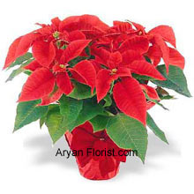 productPoinsettias are the best way to celebrate this holiday season! These lovely flowers indicate the start of the Bethlehem and hence preserve the sanctity of passion for the Christ. As a gift idea for someone you care, or for yourself, this is an ideal gift to be bought on Christmas because of its significance and vitality that is associated with Jesus. (Please Note That We Reserve the Right to Substitute any Product with a Suitable Product of Equal Value in Case of Non-Availability of a Certain Product)