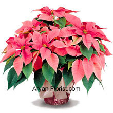 productAn easy to choose, as a gift, the poinsettias are everyone's favorite in the holiday season. So if you are thinking what to present this Christmas, then these sacred poinsettias are your answer! This bunch comes with a vase and the arrangement is adorned with green leaves, that is in contrast with the amazing roseate colored flowers that are long-lasting and a good buy for any one, from office to friends and family. (Please Note That We Reserve the Right to Substitute any Product with a Suitable Product of Equal Value in Case of Non-Availability of a Certain Product)