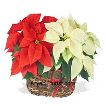 productThis a basket filled with two tone flowers that will ignite the flame for this holiday season and will enhance your enthusiasm for the festivals. To keep the zeal burning, buy this lovely red poinsettia that will come with yet another color of white, pink or another favorite! This one will indeed be one of the most preferred choices for this holiday season as it brings the piousness of the flowers as a gift into your loving abode! (Please Note That We Reserve the Right to Substitute any Product with a Suitable Product of Equal Value in Case of Non-Availability of a Certain Product)